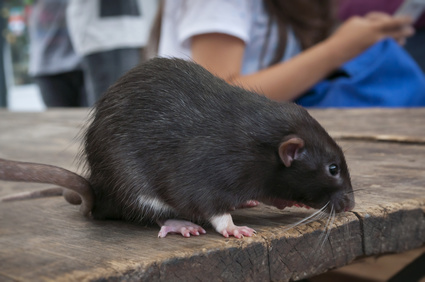 maladies rats